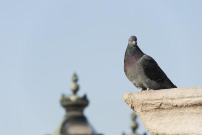 Starlink pigeons